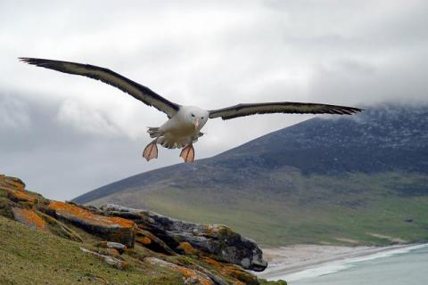 1st place Lumix digital photos 2006: Black-browed albatross over Saunders, one of the Falkland Islands