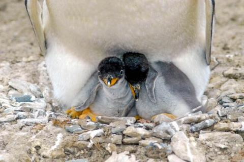 Gentoo penguins chicks, Sealion Island