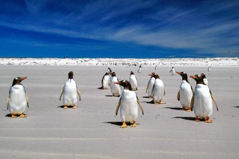 Gentoo penguins at Volunteer Point, Eastern Falkland