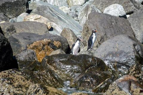 Fiordland penguins on the South Island of New Zealand