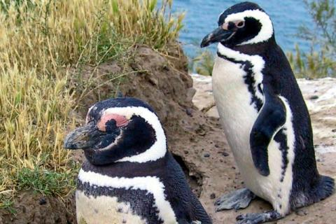 Magellanic penguins in Argentina
