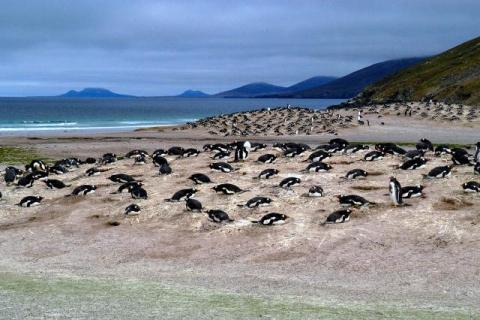 Penguin colony in the Falkland Islands