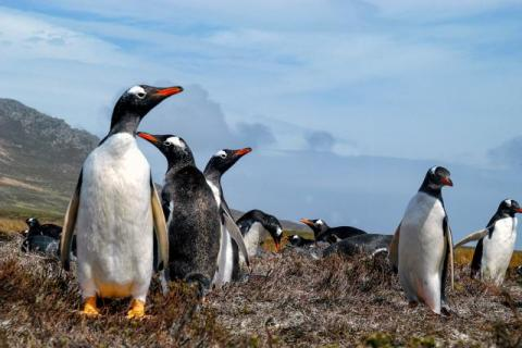 Colony of Gentoo Penguins on Pebble Island, one of the Falkland Islands