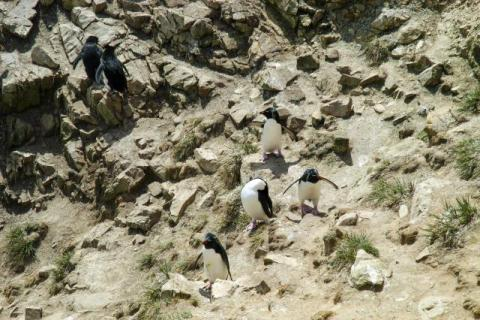 Rockhopper penguins on Pebble Island