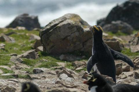 Macaroni Penguin on Pebble Island