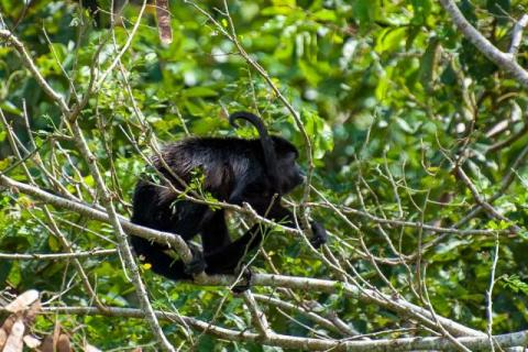 Howler monkeys on the Panama Canal