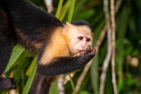 Panamanian white-faced capuchin on the Panama Canal