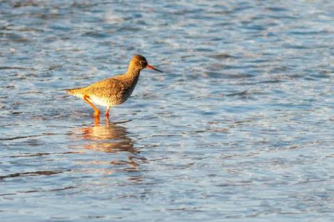 Redshank in Lofoten
