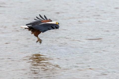 Fish eagle when fishing