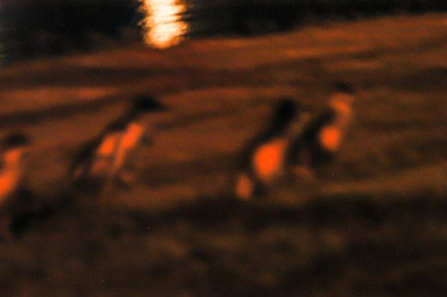 Little penguins in Oamaru, New Zealand, come ashore at night