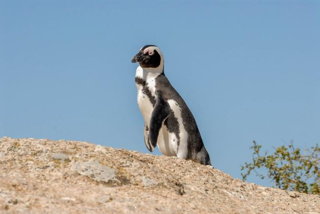 "African penguins at ""Boulders Beach"" in South Africa"