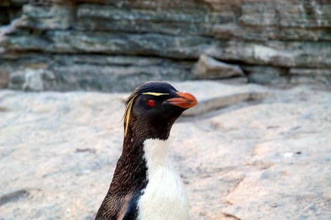 Rockhopper penguins on Sealion Island