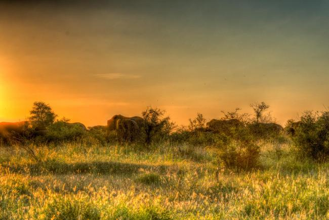 Herd of elephants at sunset in Kruger National Park