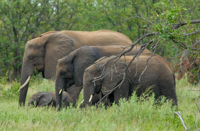 Elephant family in the Kruger National Park
