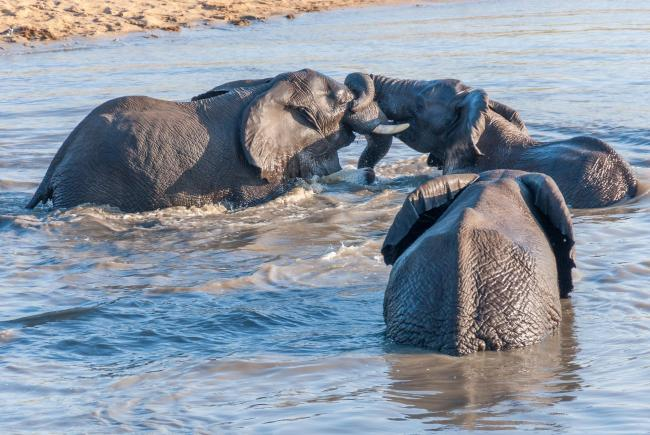 Bathing fun with a herd of elephants in the Kruger National Park