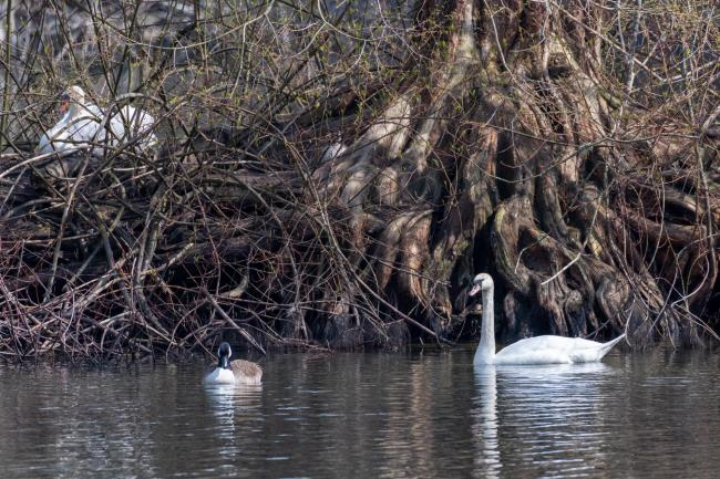 Mute swan and Canada goose in front of their nests in the root system