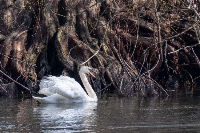 Swan in front of a mighty root