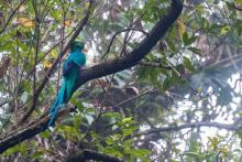Quetzal in the jungle near Boquete